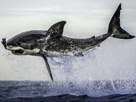 連鯊魚也敢耍!攝影師用假餌拍出鯊魚躍龍門高難度動作