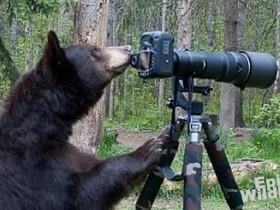 當黑熊遇到相機,是想當攝影師?還是直接蹂躪下去?