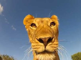 獅子「咬」走 GoPro 攝影機,到底會拍出什麼影片呢?