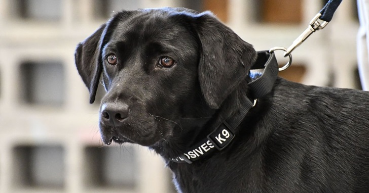 這樣太危險?偵爆犬對找出炸彈沒興趣,結果被 CIA 開除:「他只想當一個普通的汪星人。」