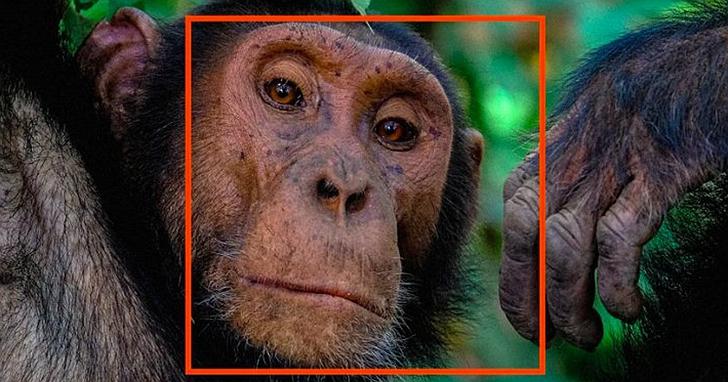 黑猩猩因盜獵瀕臨滅絕,新創公司想用「猩臉辨識」技術改變它們的命運