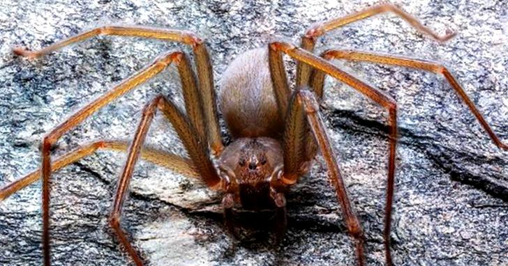 被咬一口肉就會腐爛?科學家發現新型劇毒蜘蛛