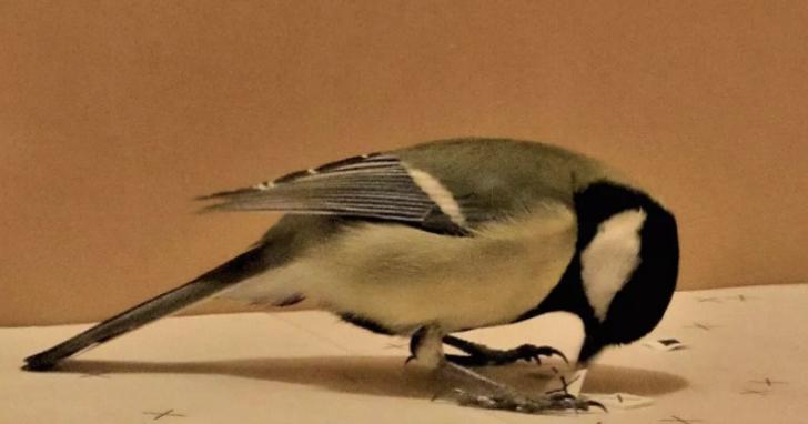 鳥類也略懂「吃播」?研究發現鳥類會學習觀看其他鳥類進食學習學習哪些食物不該吃