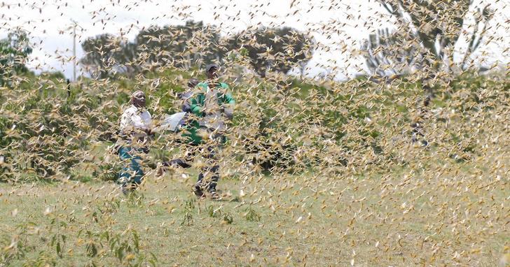 沙漠蝗蟲重創東非造成糧食短缺,世展會發布預警展開救援行動