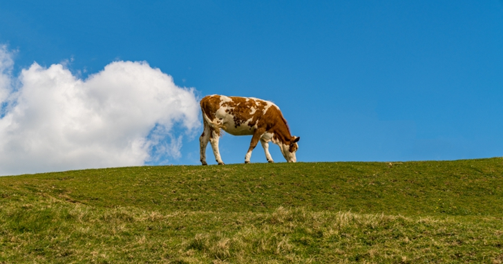 因為乳牛放屁和打嗝,動物性奶油所產生的二氧化碳遠超過人造奶油