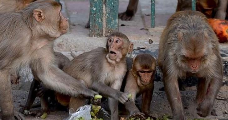 印度發生離奇搶案,一群猴子結夥從一所醫學院搶走新冠病毒的血液樣本