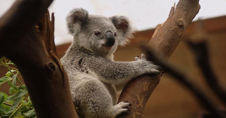 昆士蘭科技大學利用AI與無人機,找出澳洲大火後倖存的無尾熊
