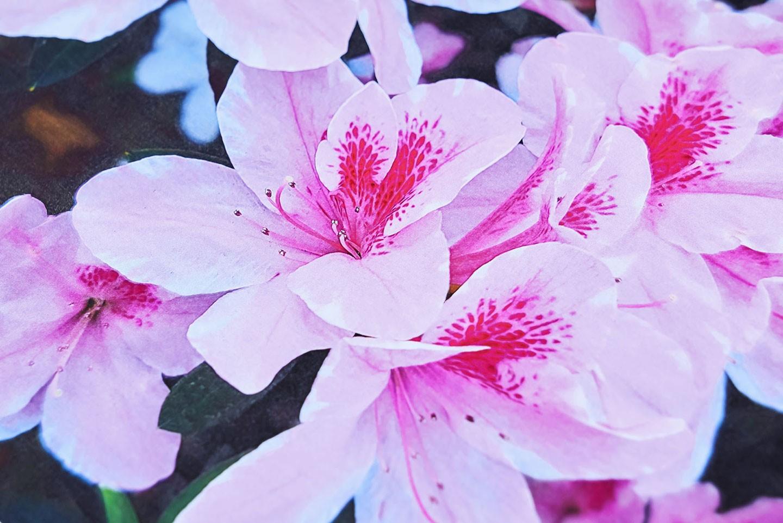 AL-C9500DN 輸出的照片影像細節還原度極高,花朵的色彩也相當純淨。