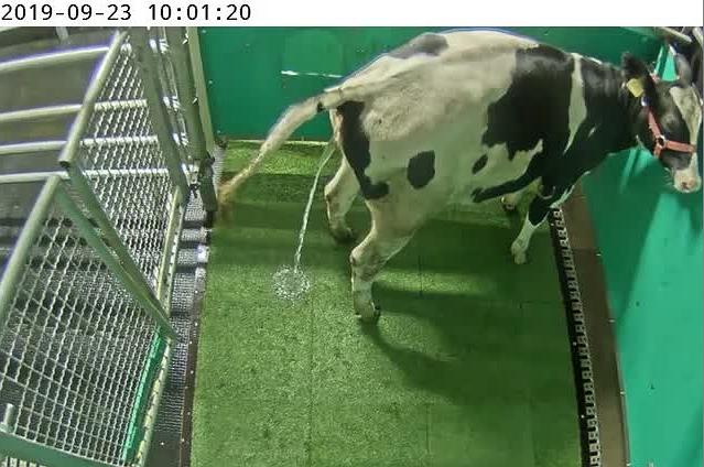 研究人員�在訓練讓乳牛自己上廁所,以減少污染物排放